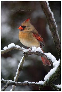 Female Cardinal by ~Nzeman