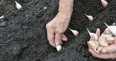 Fokhagyma termesztése ősszel. Miért ősszel érdemes fokhagymát termeszteni, mit kell tudni a fokhagyma őszi termesztéséről? Most mindent elmondok a fokhagyma őszi termesztéséről. Planting Garlic, Overwintering, Market Garden, Sandy Soil, Top Soil, Fall Plants, Different Plants, Organic Matter, Allium