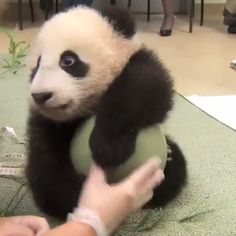 My Ball ! - Tierisch - Panda love The Effective Pictures We Offer You About pets preschool theme - The Animals, Cute Little Animals, Cute Funny Animals, Cute Dogs, Cute Babies, Wild Animals, Funny Dogs, Panda Love, Cute Panda