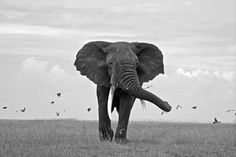 """Top Shot: Heading My Way Top Shot features the photo with the most votes from the previous day's Daily Dozen. The Daily Dozen is 12 photos chosen by the Your Shot editors each day from thousands of recent uploads. Our community has the chance to vote for their favorite from the selection. """"A large line of elephants walked through the fields of the Serengeti. This bull was the largest and last in his herd. He left his group and marched head-on towards me with the majesty of a great ki..."""