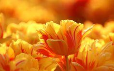 tulip : Full HD Pictures 1920x1200