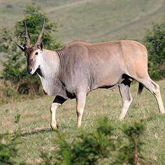 Eland male South Africa
