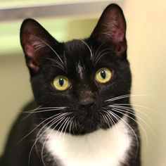 Acorn is a chatty and social cat who is available for adoption at our Mission campus!
