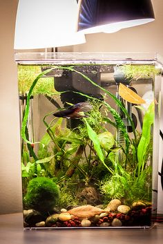 2.5 gallon tank, 2 x 13W lights, 25W heater, Mini-might internal filter, live plants, good betta tank, Flora: Amazon Swords, Wisteria, Ludwigia repens, Marimo ball, Java Moss, Riccia, Duckweed, Anubias something, Narrow-leaf Java Fern, 3 ghost shrimp, red cherry shrimp, 1 Amano Shrimp. Watch how the betta displays beautiful swimming and exploring behavior that you do not see when they are kept in smaller habitats.