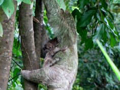 Sloth with baby in Manuel Antonio National park