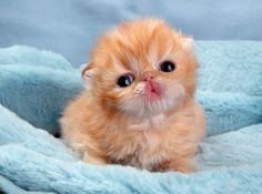 20 Of The Cutest Kittens Ever Bored Panda Baby Animals Pictures, Cute Animal Pictures, Cute Baby Animals, Funny Animals, Kittens And Puppies, Cute Cats And Kittens, Baby Cats, Adorable Kittens, Funny Puppies