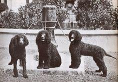 DOG Irish Water Spaniels on Lead (ID'd), Vintage Print 1930s  | eBay