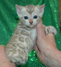 Neat Bengal kitten!