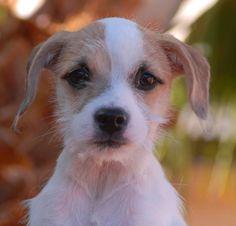 Savanna, a Terrier / Chihuahua Mix Puppy