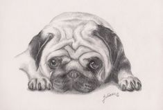 pencil drawings of pugs | Pug 2 by ~Lakana on deviantART