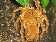The Goliath birdeater (Theraphosa blondi) belongs to the tarantula family Theraphosidae. Found in northern South America, it is the largest spider in the world by mass and size, but it is second to the giant huntsman spider by leg-span. Giant Huntsman Spider, Giant Spider, Spider Webs, Huge Spiders, Types Of Spiders, Spider Eating, Crab Spider, Two Toed Sloth, Creepy Animals
