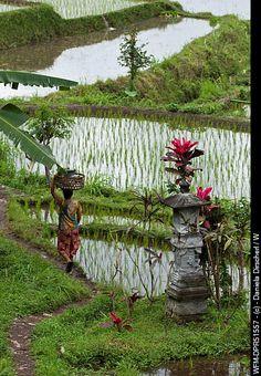 Stock Photo: Ricefields at Bali, Oryza, Bali, Indonesia. Bali Lombok, Vanuatu, Beautiful World, Beautiful Places, Komodo Island, Wanderlust, Bali Travel, Ubud, Borneo
