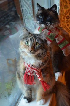 25 Christmas Animals from Around the World - meowlogy Pretty Cats, Beautiful Cats, Animals Beautiful, Cute Animals, Christmas Kitten, Christmas Animals, Merry Christmas, Cute Kittens, Crazy Cat Lady