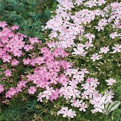 Creeping Phlox « Plant Shed