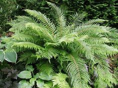 Polystichum setiferum `Herrenhausen` (Zachte Naaldvaren) | varens | Tuinplanten stekplek
