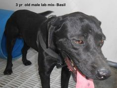 ***SUPER SUPER URGENT!!!*** - PLEASE SAVE BASIL!! - EU DATE: 9/11/2014 -- Call Silvia and Debbie now,,,,,Silvia is 910-876-0539 and Debbie is 339-832-0806. If Silvia's mailbox is full you can Text her. Transportation is generally available up and down the East Coast from NC, VA, MD, NJ, PA, NY and the North East