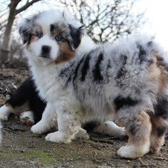 cute puppies with blue eyes / puppies eyes . puppies eyes are red . husky puppies with blue eyes . cute puppies with blue eyes . puppies with blue eyes . Aussie Shepherd, Australian Shepherd Puppies, Aussie Puppies, Cute Dogs And Puppies, Mini Australian Shepherds, Doggies, Adorable Puppies, Chihuahua Puppies, Cute Baby Animals