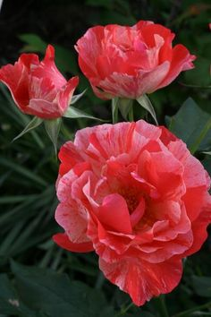 Rose 'Grimaldi'
