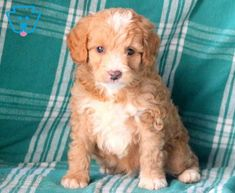 Bart | Cockapoo Puppy For Sale | Keystone Puppies