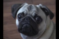 Really cute pug!! SO CUTE