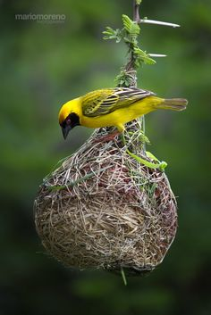 Masked Weaver at Work by Mario Moreno on - A Southern Masked Weaver adding final touches to his nest. Image captured in the Kruger National Park in South Africa Kinds Of Birds, Love Birds, Beautiful Birds, Weaver Bird Nest, South African Birds, Backyard Birds, Mundo Animal, Wild Nature, Little Birds