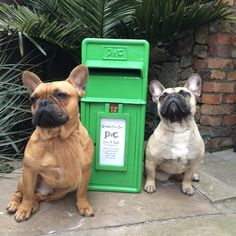 Paddys day Frenchie style, French Bulldogs