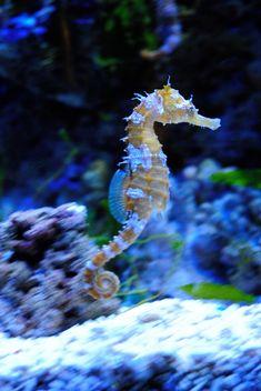 seahorse one of natures most fascinating creatures Underwater Creatures, Ocean Creatures, Beautiful Sea Creatures, Animals Beautiful, Leafy Sea Dragon, Fauna Marina, Wale, Marine Fish, Sea Monsters