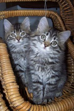 Such Beautiful Siberian Kittens! Kittens And Puppies, Cute Cats And Kittens, I Love Cats, Crazy Cats, Kittens Cutest, Tabby Kittens, Funny Kittens, Bengal Cats, White Kittens