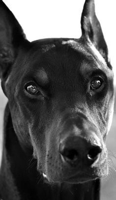 The Doberman Pinscher is among the most popular breed of dogs in the world. Known for its intelligence and loyalty, the Pinscher is both a police- favorite Big Dogs, I Love Dogs, Cute Dogs, Dogs And Puppies, Doggies, Doberman Pinscher Dog, Doberman Dogs, Dobermans, Black Doberman