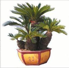 Image from http://pimg.tradeindia.com/01261308/b/1/Cycas-Revoluta-Plant-.jpg.