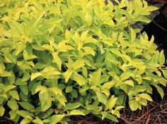 Why dig for gold when you can grow it? 'Cuban Gold' Duranta is a perennial with chartreuse-yellow foliage, and it's a stunner. Hardy in zones 9 to 11, it thrives in sun to part shade and bears golden berries that attract birds. Click through for more perennial recommendations.