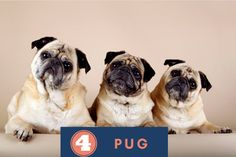 pug puppies Breeds, Dog Breeds