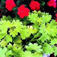 The textures of two annuals form a dynamic contrast. Chartreuse geranium foliage frames and clarifies red impatiens blossoms. Green Dot, New Green, Green Flowers, Green Leaves, Ostrich Fern, Silver Plant, Perennial Ground Cover, Concrete Bird Bath, Coral Bells