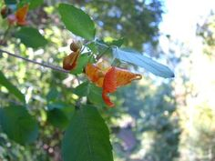 Jewelweed is sometimes called Wild Touch Me Not-because once the plant begins to produce seed pods the slightest touch will send seeds flying in all directions.