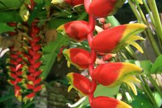 heliconia rostrata or beaked parrot (Bali. Indonesia) | heliconia rostrata ou bec de perroquet (Bali. Indonésie) | Heliconia rostrata o loro de pico (Bali. Indonesia)