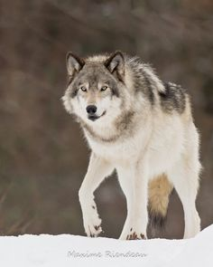 Wolf by Maxime Riendeau