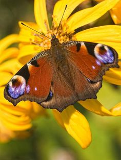 ✮ Peacock Butterfly