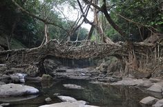 Living root bridges in Cherrapunji, India. The Ficus elastica tree has secondary roots that can be guided hundreds of feet across rivers. In time they grow into bridges strong enough to support dozens of people at once. - Imgur