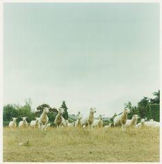 Japanese female photographer Orie Ichihashi provided the imagery, light as air. Ikko, Female Photographers, Zoology, Pet Birds, Outdoor Gardens, Sheep, Photo Art, Art Photography, Horses