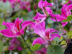 Flowers wave~~~ Bauhinia--HongKong's floral emblem,the opening two quarters of…