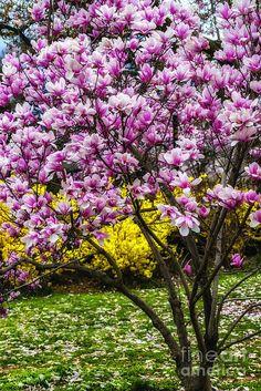 Magnolia Tree and Forsythia, East Potomac Park, Washington DC, USA
