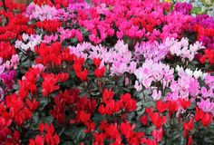 Colourful cyclamen Great Christmas Gifts, Great Gifts, Deck, Gift Ideas, Make It Yourself, Plants, Color, Front Porches, Colour