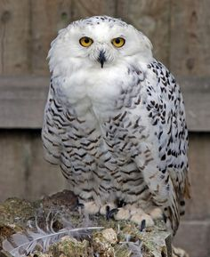 jaws-and-claws:  Snowy Owl by Lawrence G Photos! on Flickr.
