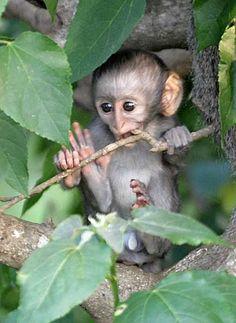 Wildlife Pictures Online logo   Baby Vervet Monkey Sucking on Twig