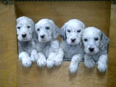 english setters dog photo | CKC Reg'd ENGLISH SETTER puppies for sale in Langley, British Columbia ...