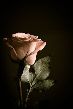 Decicated to My Mom (RIP) as she so Loved <3 Peach Roses <3 Miss u ever so much Mami...Bendicion <3