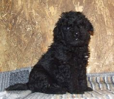still a pup but already has that look of relaxed, confident alertness Puli Dog, Herding Dogs, Dog Photos, Puppy Love, Sheep, Funny Animals, Old Things, Creatures, Puppies