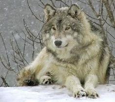 gorgeous WOLF