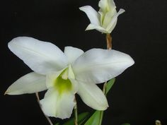L. anceps var. shroederiana - Orchid Forum by The Orchid Source