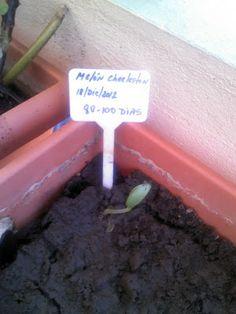 Foto Blog Puerto Rico: Plantitas de Melones